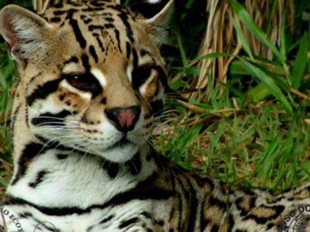 small-tiger
